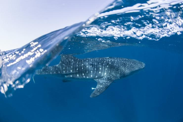 Whale shark, Ningaloo Reef, WA © Sean Scott