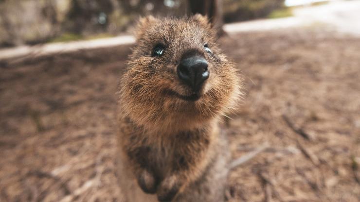 How to get the perfect quokka selfie - Tourism Australia