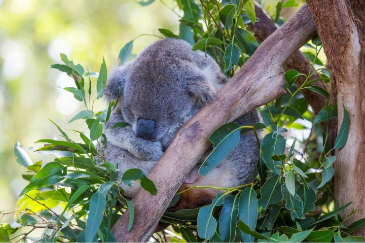 Koala Hospital, Port Macquarie, New South Wales