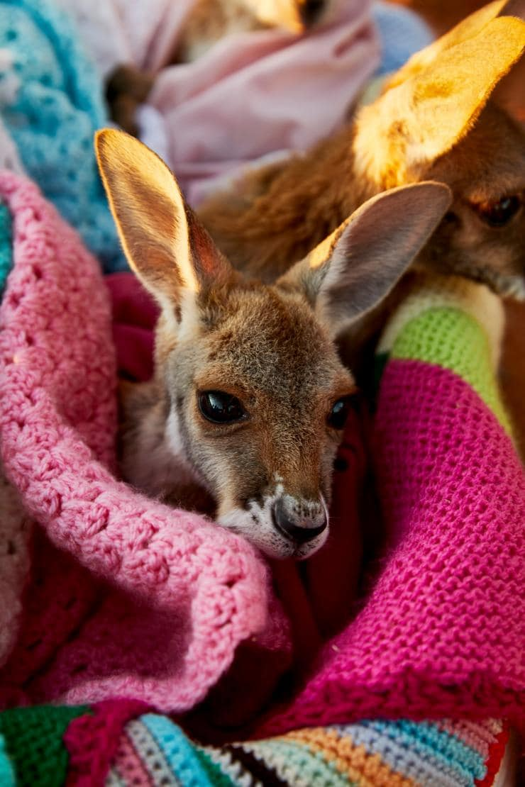The Kangaroo Sanctuary, Alice Springs, Territoire du Nord © Tourism Australia
