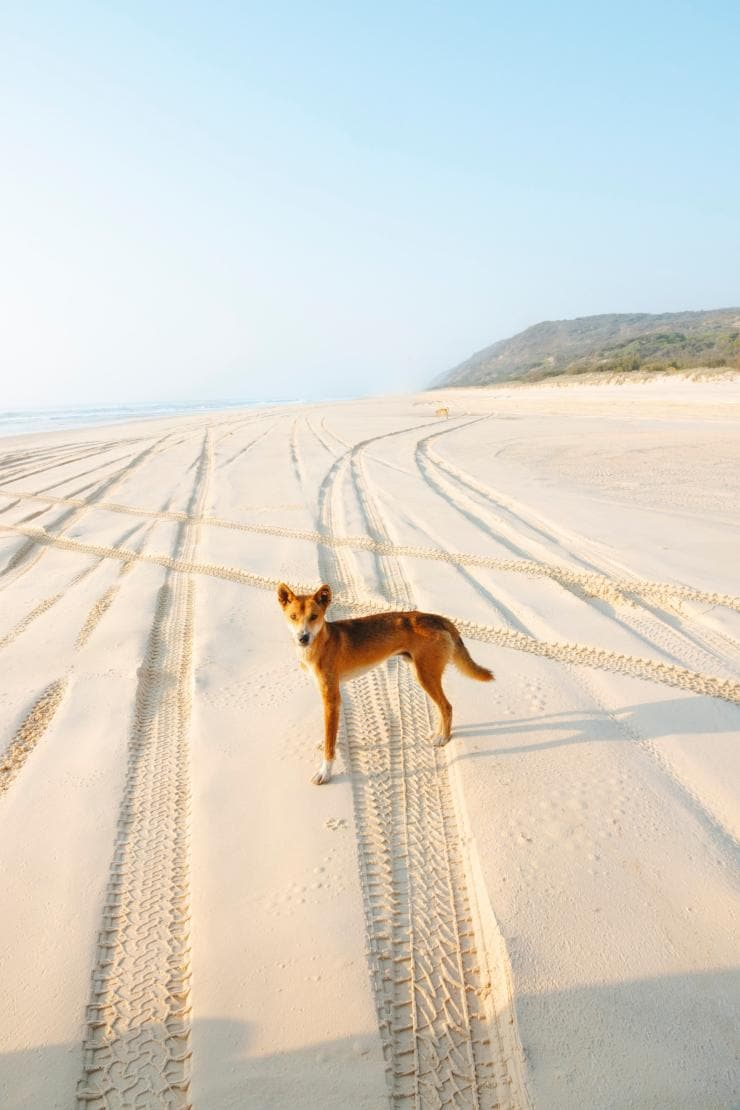 Dingo on the beach on Fraser Island © Tourism and Events Queensland
