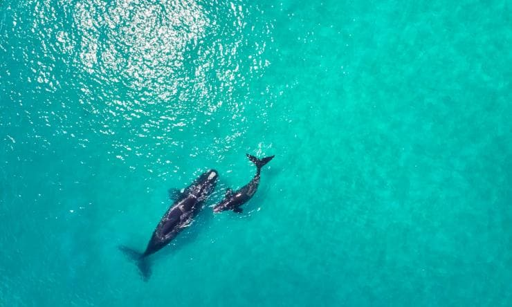 Aerial view of a mother and baby whale in the ocean © Australia's South West