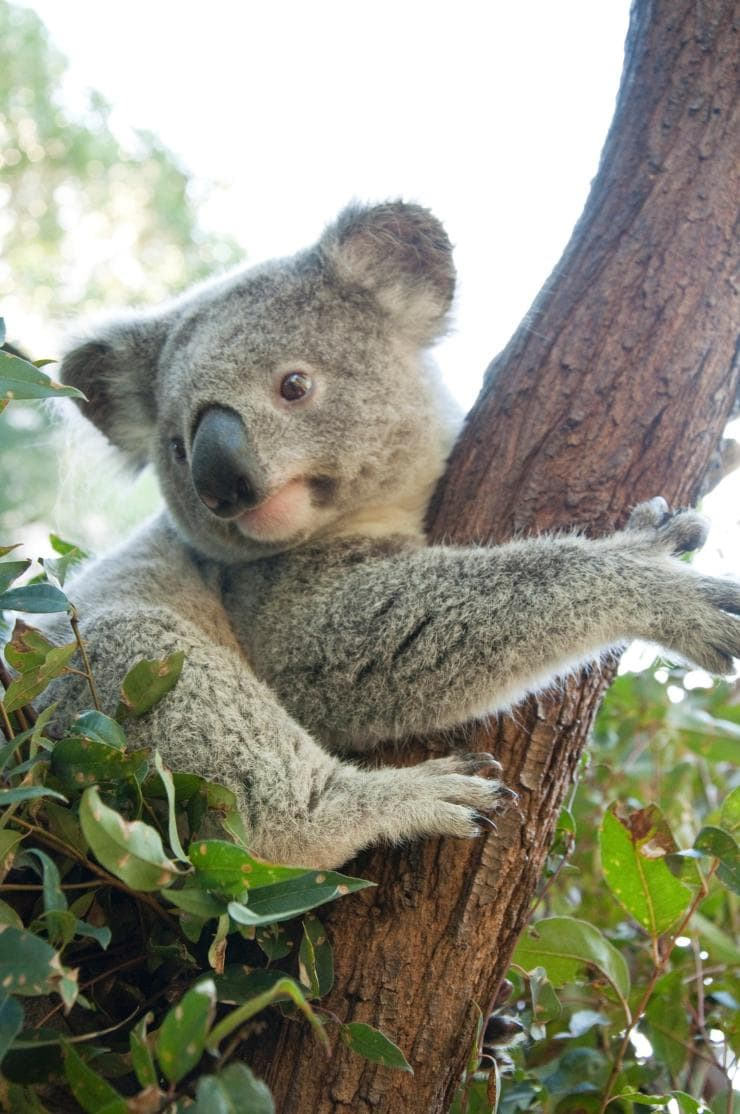 Koala, Queensland © Tourism Australia