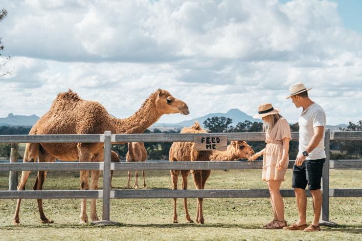 Couple feeding camels at Summer Land Camels in Harrisville © Tourism and Events Queensland