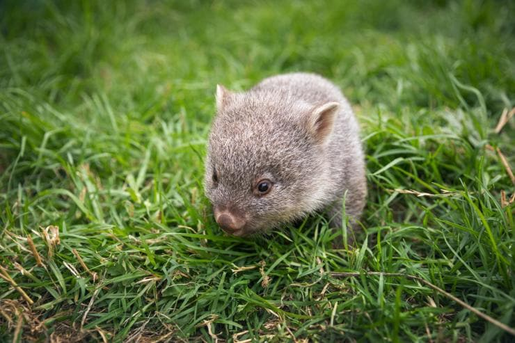 A wombat on the grass at Flinders Island © Tourism Australia