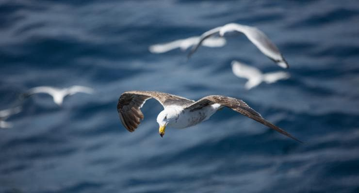 Seagull, Neptune Islands, South Australia © Tourism Australia