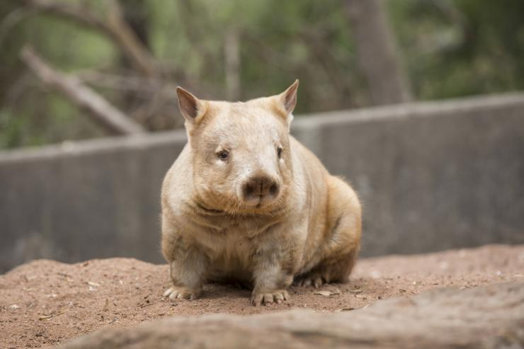 Wombat at Cleland Wildlife Park, Adelaide Hills, South Australia © Tourism Australia